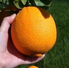 Pin By Yousef Amer On حمضيات Citrus Fruit Fruit Growing Food