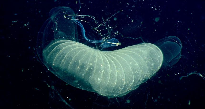 Sea Creatures Sticky Mucus Houses Catch Ocean Carbon Really Fast Sea Creatures Ocean Ocean Plants