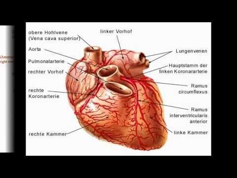 anatomisches herz anatomisches herz Die Theorie der Struktur ...