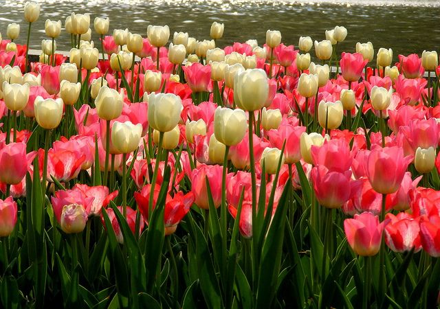 Love me some tulips
