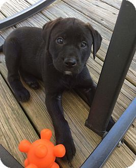 Pin By Vic O On Dogs Labrador Retriever Labrador Retriever