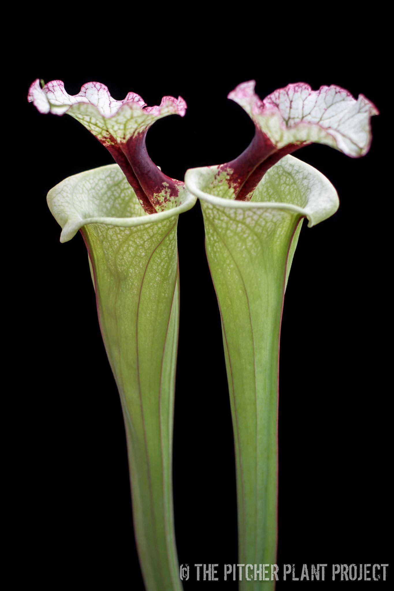 Sarracenia Seed  Leah Wilkerson x Leucophylla cl3 x Leah W x Adrian Slack D
