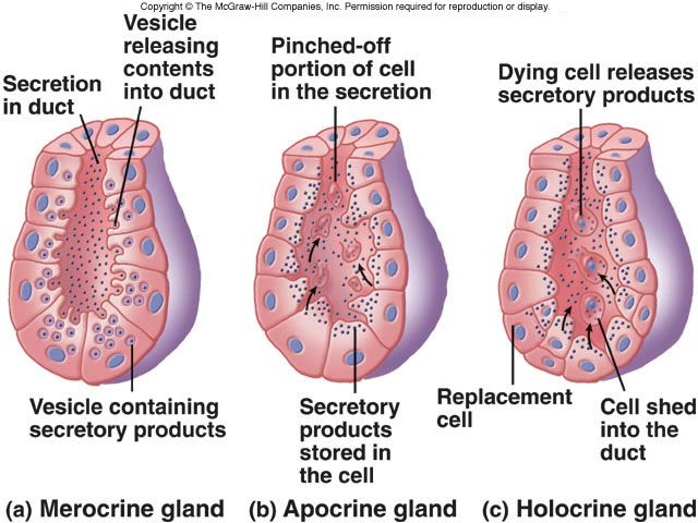 Difference Between Exocrine and Endocrine Glands
