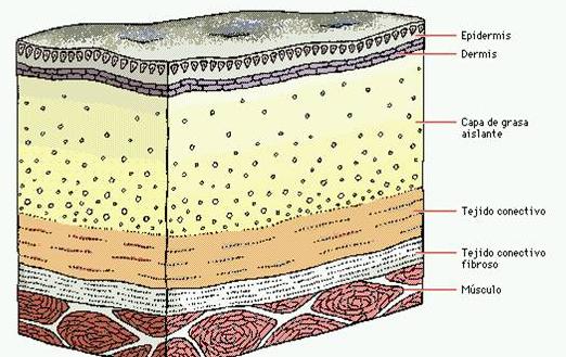 tejidos debajo de la piel - Buscar con Google | Anatomía | Pinterest ...