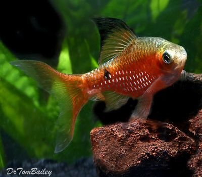 Male Neon Hi Fin Rosy Barb 2 To 2 5 Long Www Ecwid Com Fish Pet Fish Fish Pet