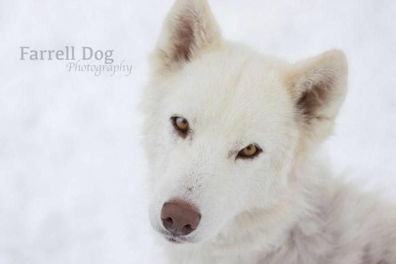 Adopt Tink On German Shepherd Dogs Husky Dogs
