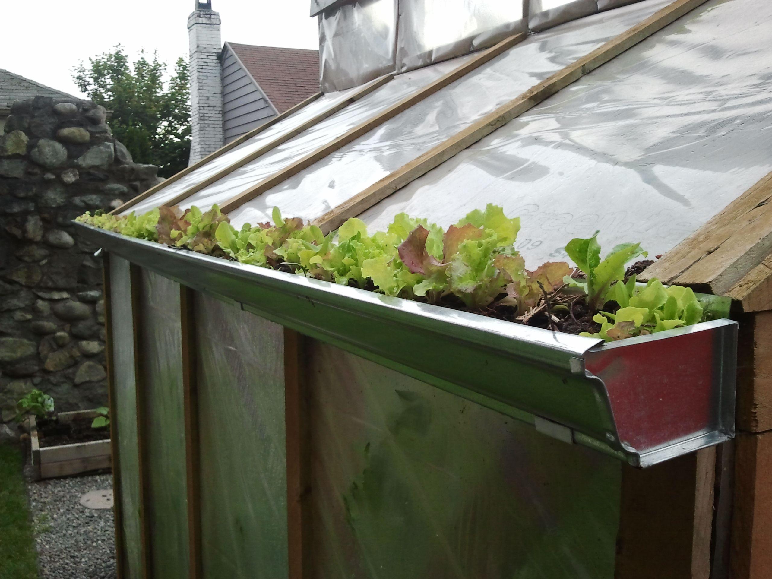 Gutter Lettuce Gutter Garden Growing Vegetables Growing Organic Vegetables