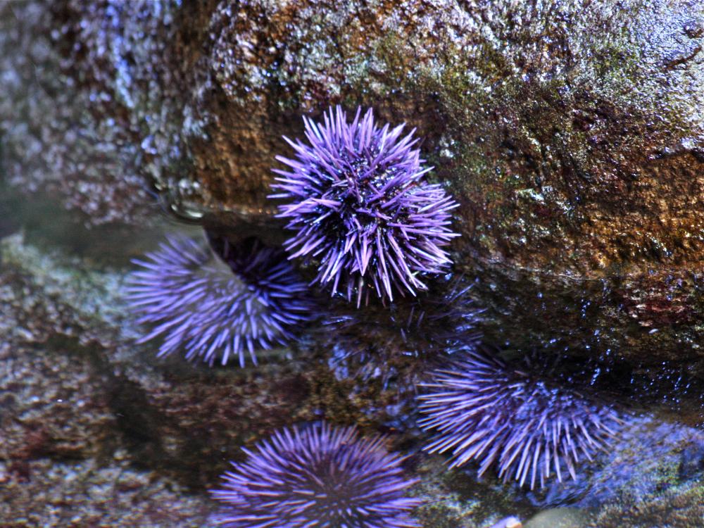 Sea Urchin From Ron S Temperate Marine Purple Sea Urchin Urchin Sea Animals