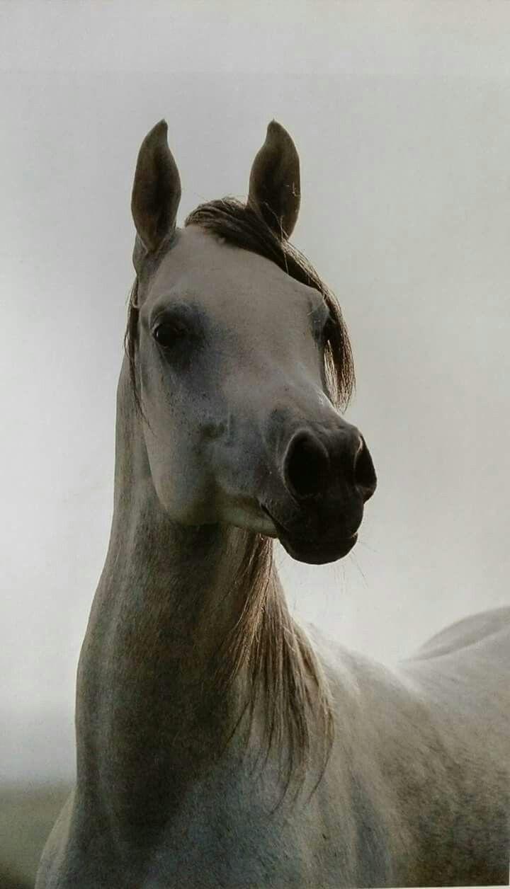 Hamasa Khazzan Kasr El Nil X Nafteta V Kaisoon Bor 1984 Arabian Horse Horses Arabians