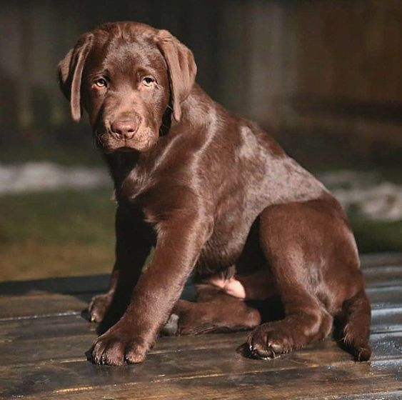 Pin By Swimmingsteele On Girls Best Friend Cute Dogs Puppies Lab Puppies Beautiful Dogs