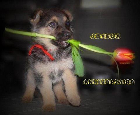 carte anniversaire chien berger allemand
