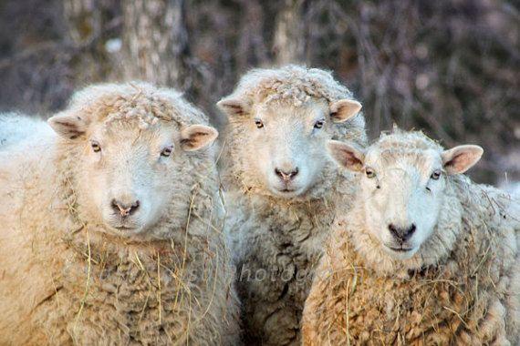 ewes sheep winter photography fine art wall decor fleece wool