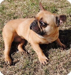 Providence Ri French Bulldog Meet Buddy W 350 150 Til 12