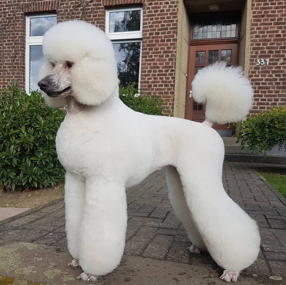 White Standard Poodle Dog Breeds Poodle Dog Poodle Puppy