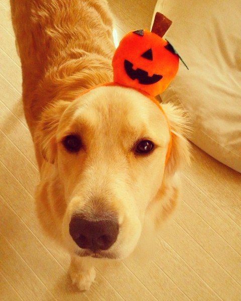 #happyhalloween  Happy halloween weekend! またかぶりものでつ  #goldenretriever #puppy #goldenpuppy #goldens_ofinstagram #ilovegoldenretrievers #retrieverstagram #gloriousgoldens #halloween #pumpkin #trickortreat #happyfriday #friday #ゴールデンレトリバー by amy.peanuts