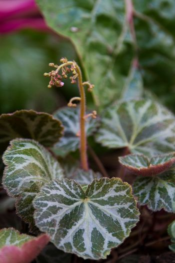 Strawberry Begonia Plants How To Grow A Strawberry Begonia Houseplant