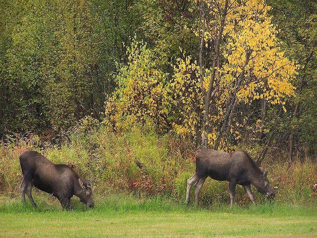 Moose, Fort Richardson, Anchorage,Alaska