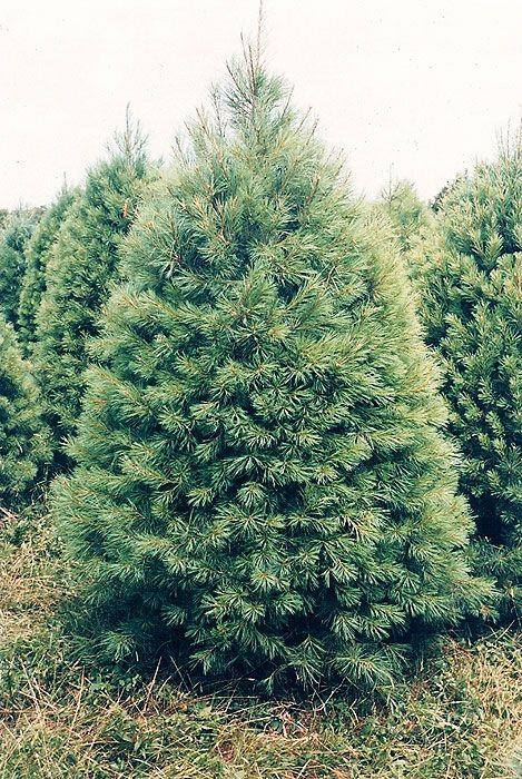 white pine christmas tree - White Pine Christmas Tree