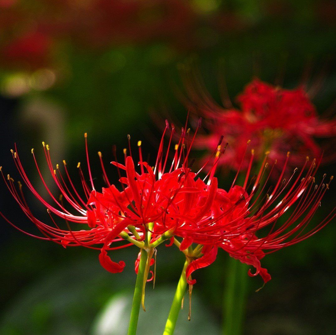 Lycoris red radiata red spider lily easy to grow