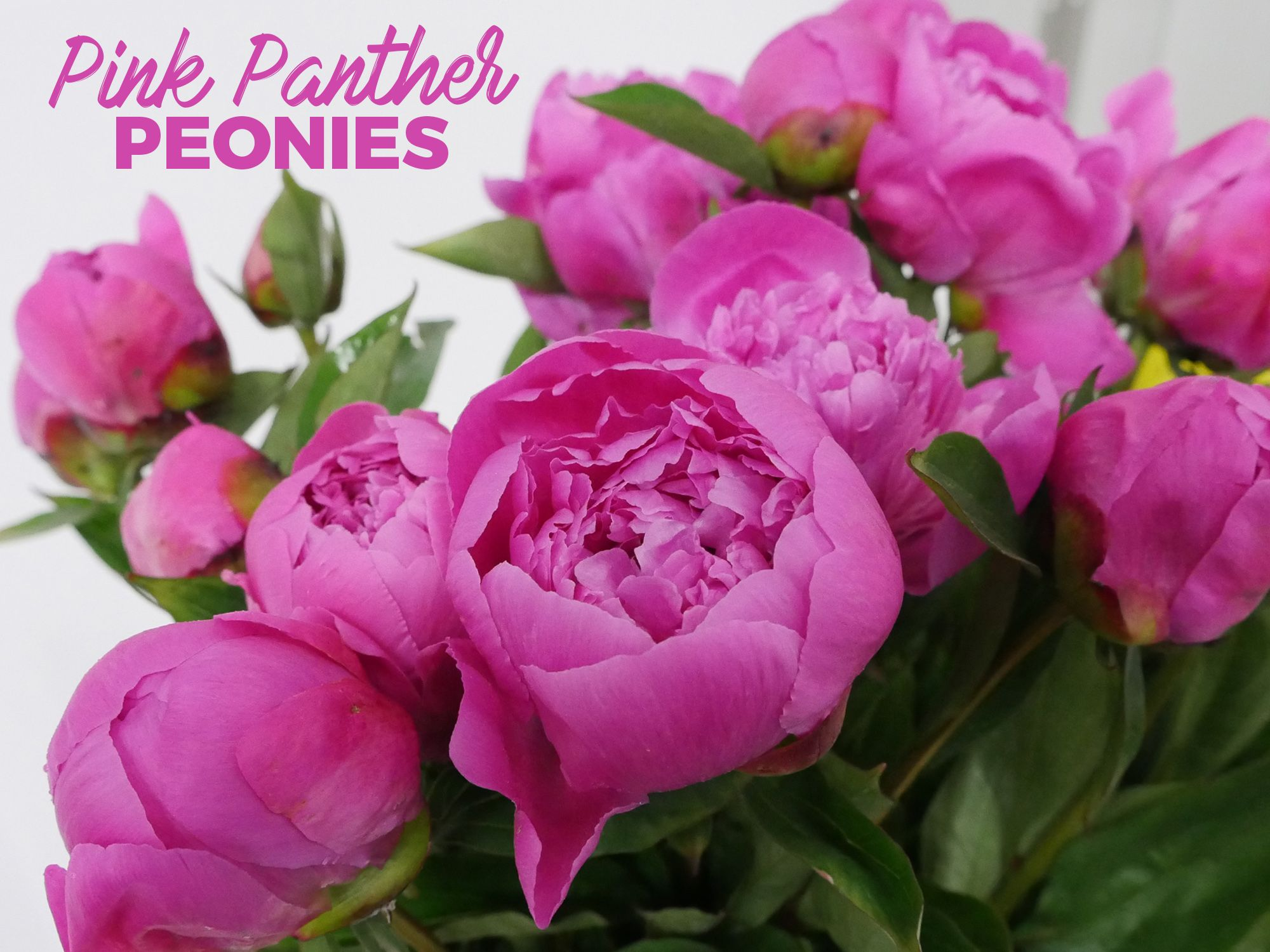 Jet Fresh Flowers Is Your Miami Peony Headquarters Pinterest
