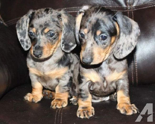 Dapple Dachshund Puppies For Sale In Washington Dapple Dachshund