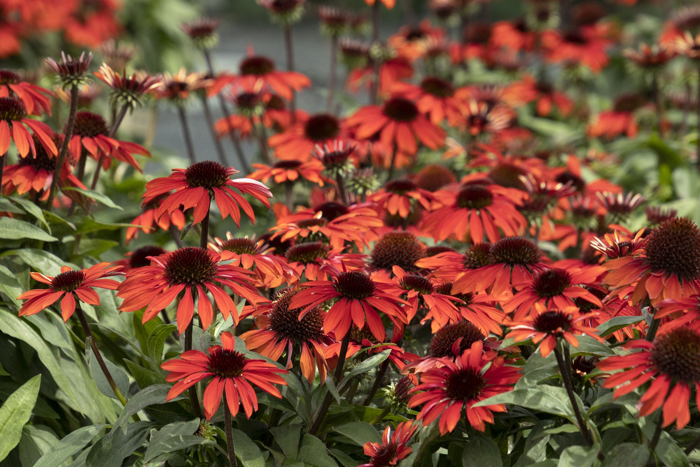 Doreen Wynja Full Shot In 2020 Late Summer Flowers Herbaceous Perennials Plant Catalogs