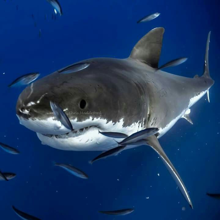 Pin de Kirstin Martinez en Shark Week   Pinterest   Tiburones ...