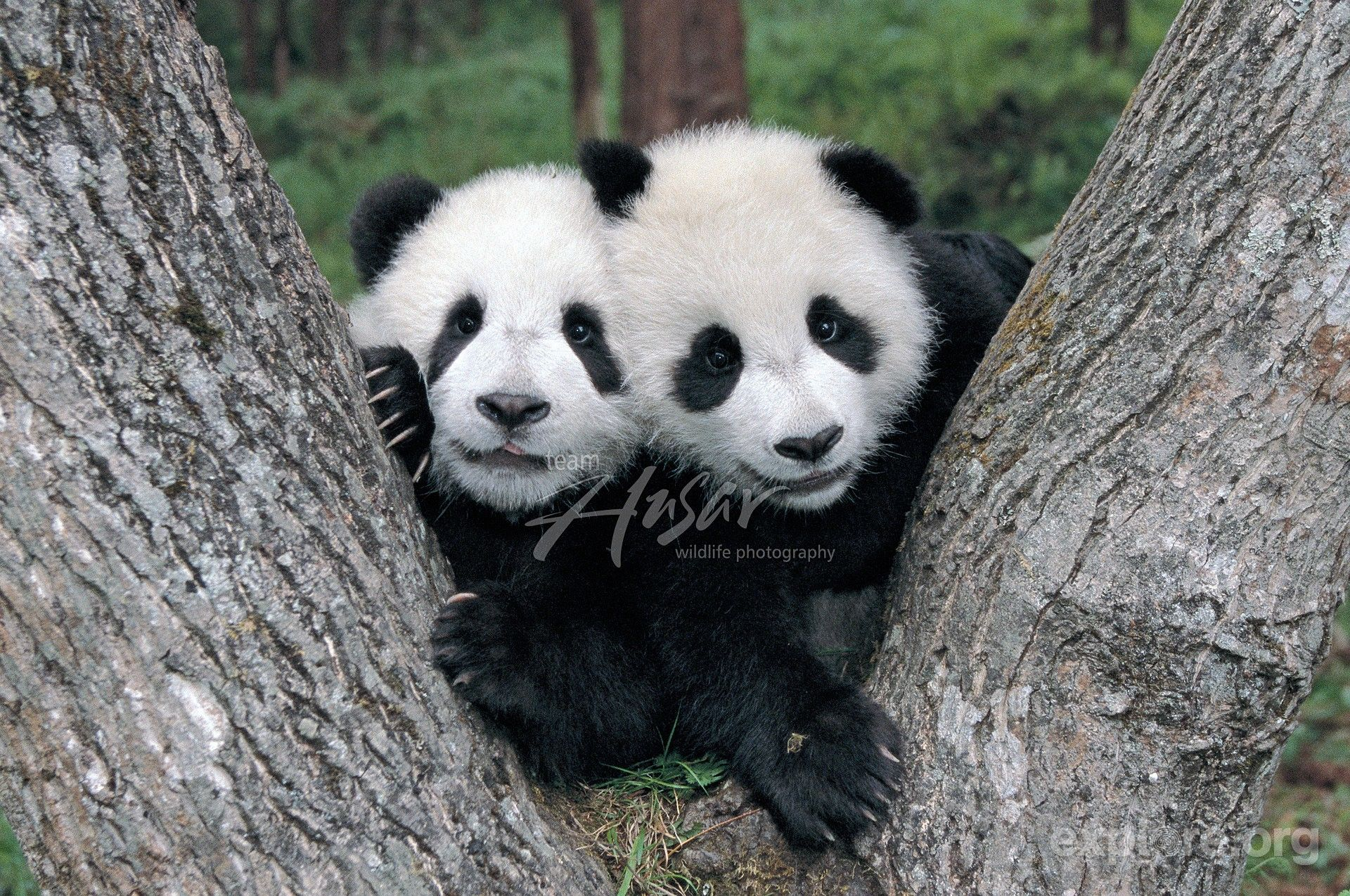 Giant Panda Cubs Playing twin-panda-cubs...