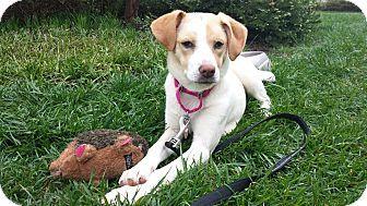 Knoxville Tn Golden Retriever Mix Meet Clover A Puppy For
