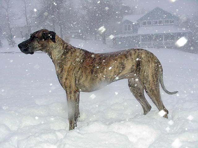 Great Dane Greyhound Mix Great Dane Great Dane Dogs Brindle