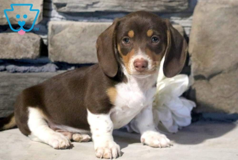 Dash Dachshund Miniature Puppy For Sale Keystone Puppies
