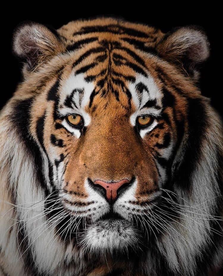 Pin Von Anna Lindlbauer Auf Tiger Wilde Tiere Tiere Wild