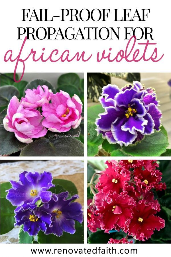 The Best Method To Grow An African Violet From A Leaf is part of African violets, Beautiful flowers garden, Flower pot design, African violets plants, African violet care, Beautiful flowers - What I love most about African violets is starting out baby plants from leaves  It is exciting to see tiny leaves pop up from a leaf and eventually bloom for the first time! Because this is my favorite aspect of our hobby, I've had a lot of practice to show you to grow an African violet from a leaf