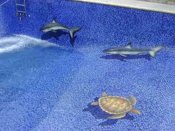 sea turtle pool tile vogland com llc