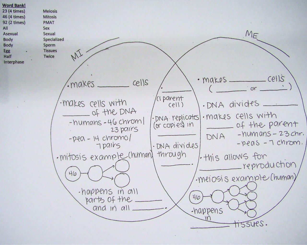 4 Comparing Mitosis And Meiosis Worksheet In