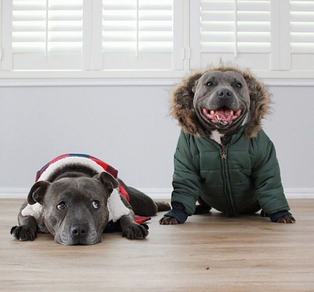 This Inseparable Terrier Duo Are Cute Enough To Melt Your Heart Pitbulls Staffordshire Bull Terrier Terrier