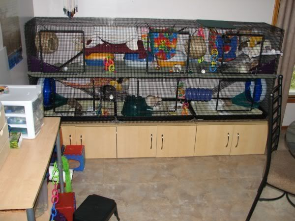 """Martins pics! Everybody post your Martins here!    the coolest rat cage ideas ever!  goosemoose.com  under """"home sqeak home"""""""