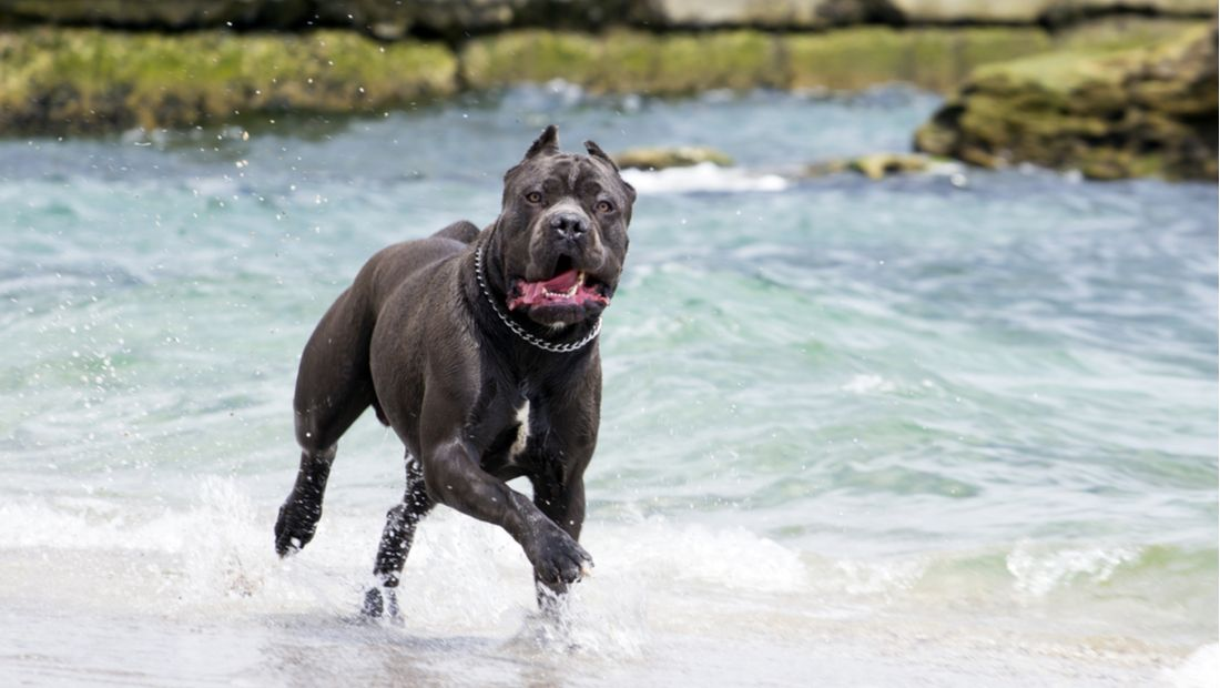 Choosing a Cane Corso Dog Breed (With images) Dog breeds