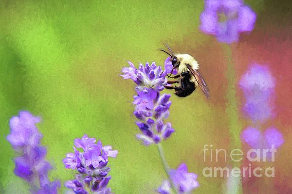 Bumblebee On Lavender by Sharon McConnell
