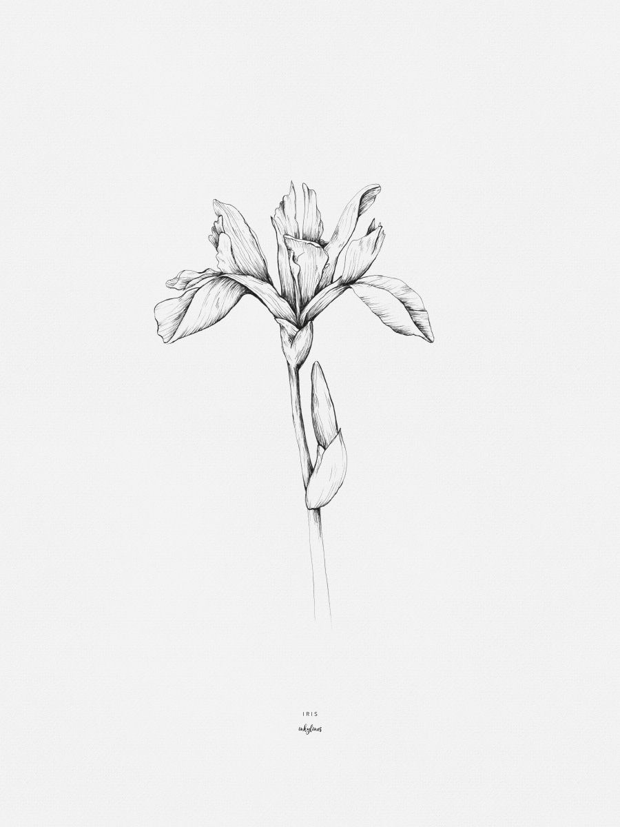 Iris Iris Tattoo Iris Flower Tattoo Iris Drawing