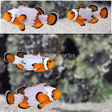Pin By Gabriel Miranda On Reef Aquarium Clown Fish Marine Fish Saltwater Fish Tanks