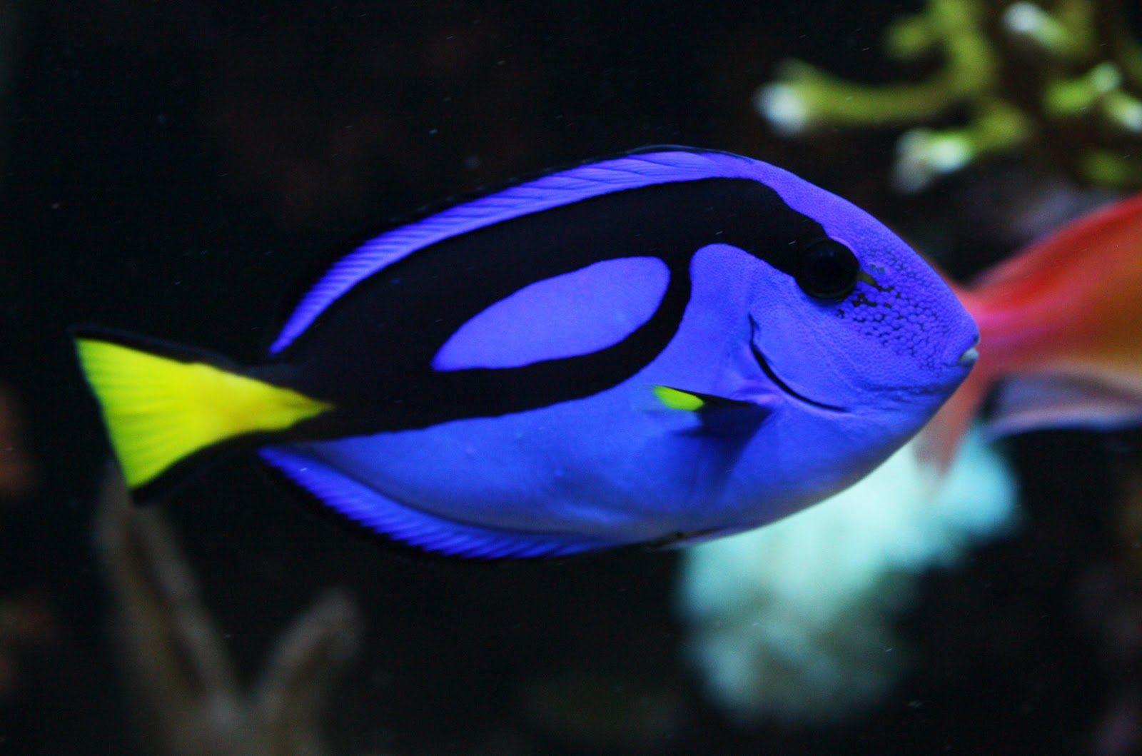 Hippo Tang Blue Tang Fish Colorful Fish Fish Wallpaper
