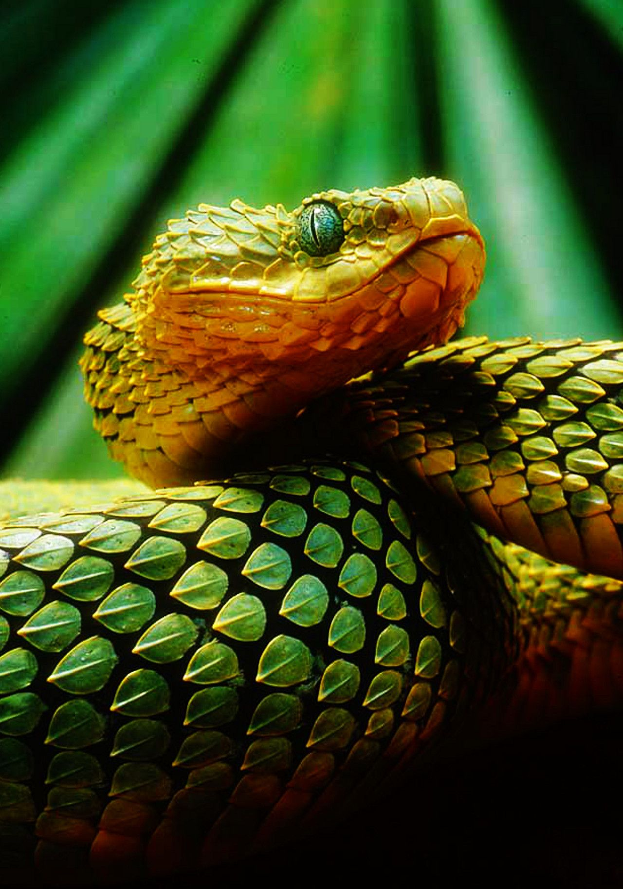 bush viper facts for kids jpg 1280 times 1825 snakes bush viper facts for kids jpg 1280times1825 snakes viper africans and green