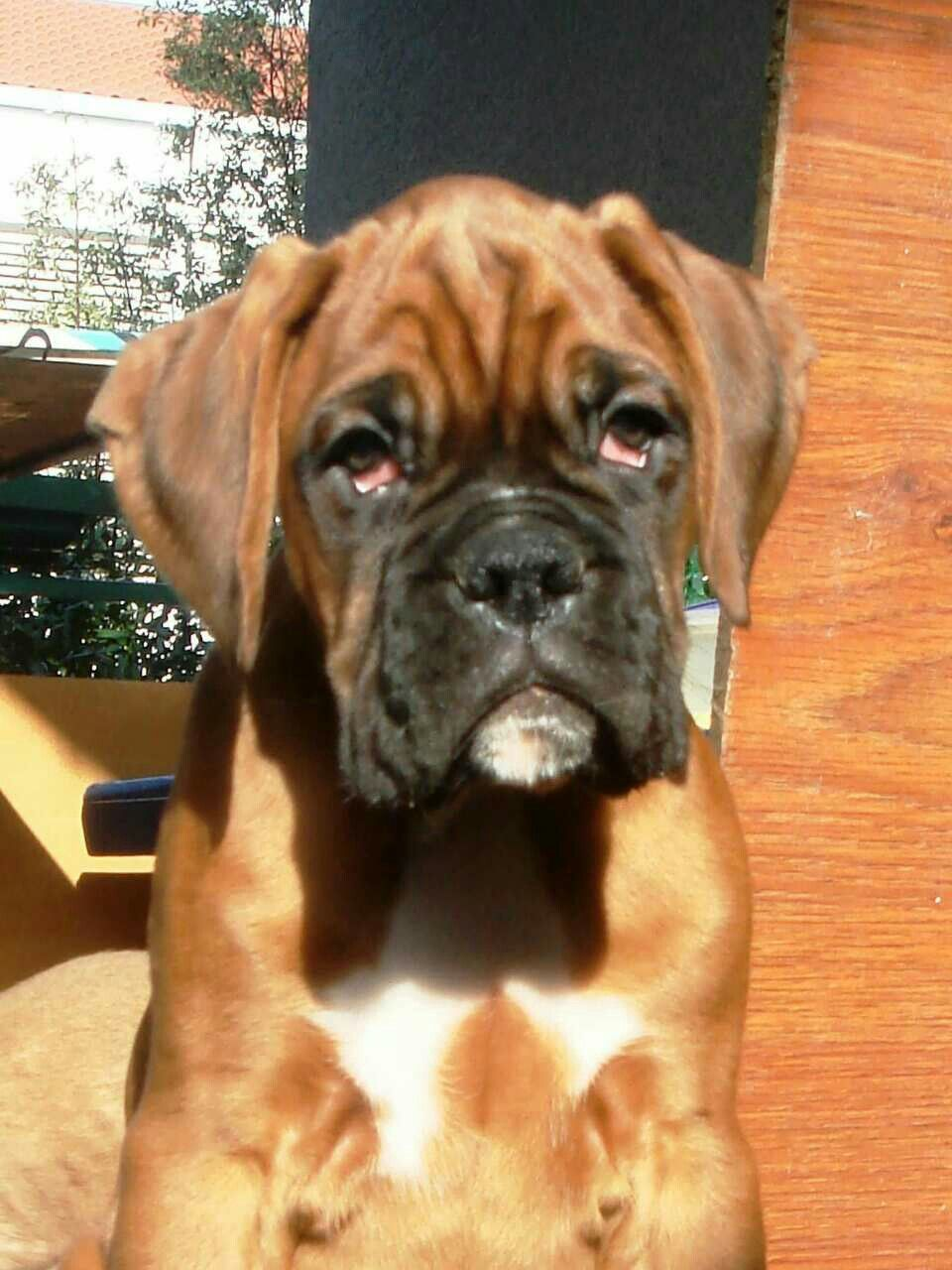 Pin By Lorraine Smith On So Sweet Boxer Puppies Boxer Dogs Boxer Puppies For Sale