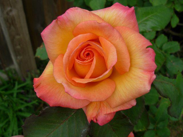 Freddie Mercury Rose | Rose, Freddie mercury, Beautiful roses