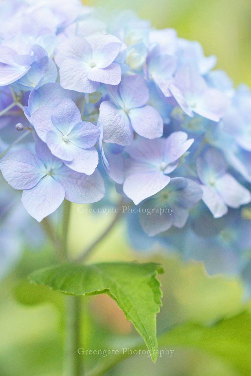 Hydrangea Photo Print Flower Photography Hydrangeas Art Etsy Flowers Photography Hydrangeas Art Flowers
