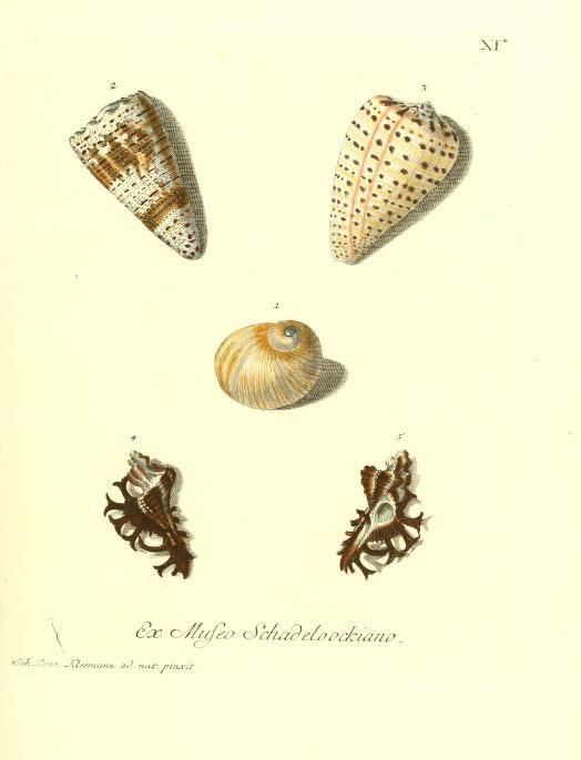 v. 1 ptie 1-3 - Les delices des yeux et de l'esprit, ou, Collection generale des differentes especes de coquillages que la mer renferme / - Biodiversity Heritage Library