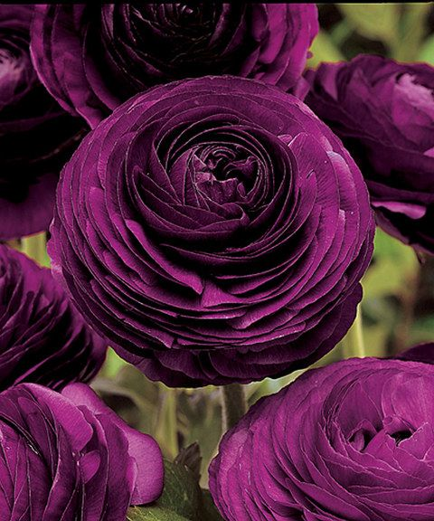 Purple Persian Buttercup Bulb Defined By A Lush Flowering Of Rich Purple  Petals, This Bulb