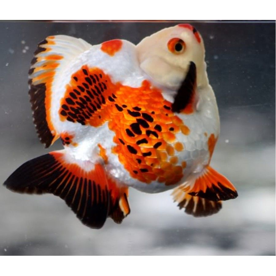 Excellent colors on this extra-stubby-tailed Ryukin. | Fish ...