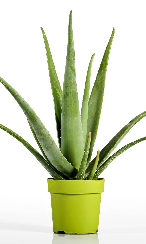L\'aloe vera, un incontournable des plantes d\'intérieur | NATURE\'S ...